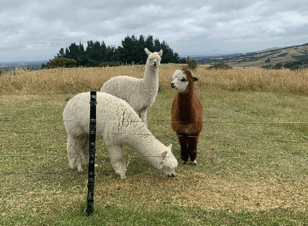 The Waipuna Alpacas
